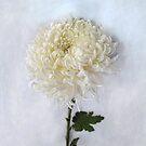 Curly White Mum by LouiseK