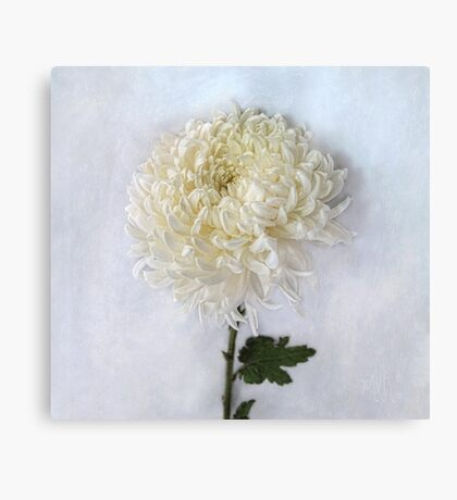 Curly White Mum Canvas Print