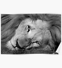 White lion in black and white Poster