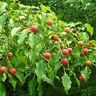The Fruit of the Kousa Dogwood Tree by Vivian Eagleson