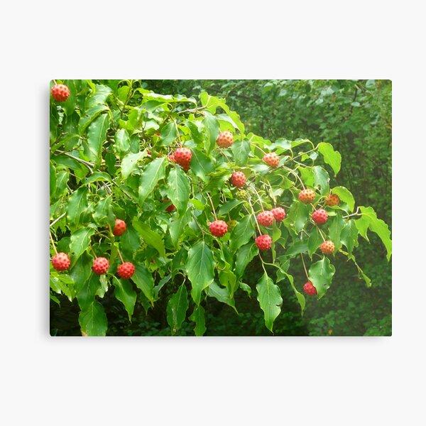 The Fruit of the Kousa Dogwood Tree Metal Print