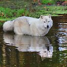 Wolf Reflection by Vicki Spindler (VHS Photography)