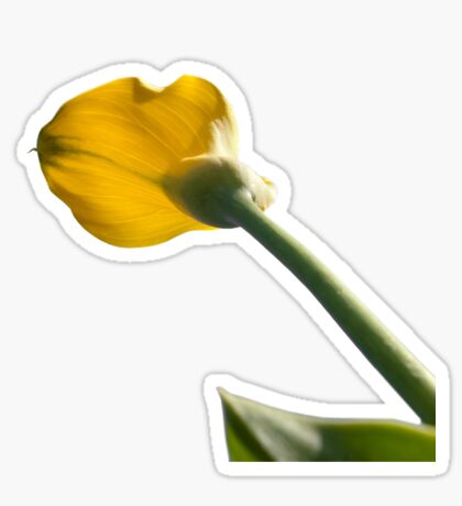 Yellow calla lily greets blue sky Sticker