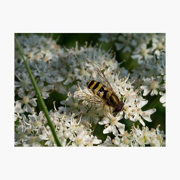 Hoverfly at Work Photographic Print