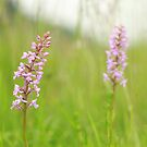The fragrant orchid by miradorpictures
