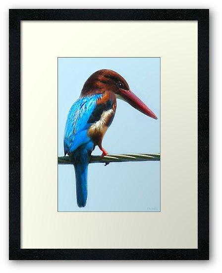<º))))>< KINGFISHER PICTURE/CARD<º))))><  by ✿✿ Bonita ✿✿ ђєℓℓσ