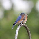 03 Pair of Eastern Bluebirds by Sheryl Hopkins
