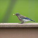 07 Juvenile Eastern Bluebird  by Sheryl Hopkins