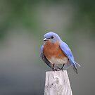 08 Male Eastern Bluebird by Sheryl Hopkins