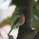 09 Female Eastern Bluebird by Sheryl Hopkins