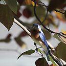 10 Eastern Bluebird in Red Bud Tree by Sheryl Hopkins