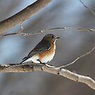 12 Female Eastern Bluebird by Sheryl Hopkins