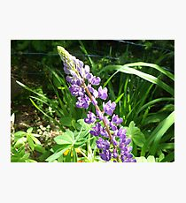 Purple Lupine Photographic Print