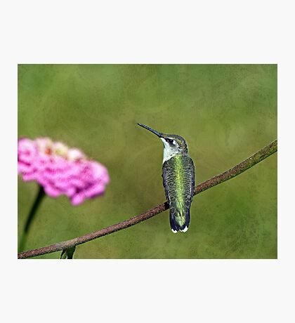 Hummingbird and Zinnia Photographic Print