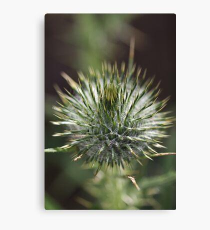 Round Green Thistle Bud Canvas Print