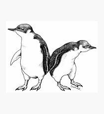 Little Blue Penguins - smallest penguin in the world! Photographic Print
