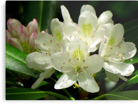 American Rhododendron by Jean Gregory  Evans