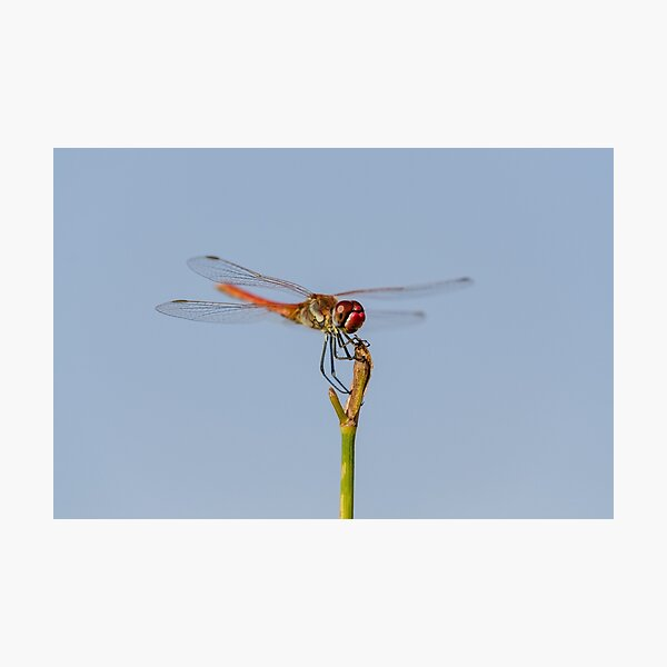 How to train your dragonfly Photographic Print