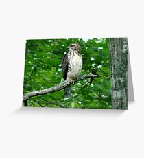Young Red-Tailed Hawk Greeting Card