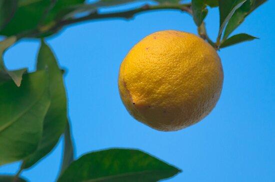 Hanging winter lemon by jhawa