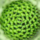 pincushion seed head (scabiosa) by Andrew Jones