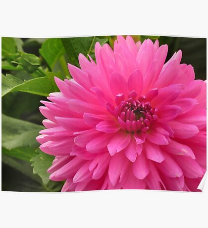 Dahlia in the Pink Poster