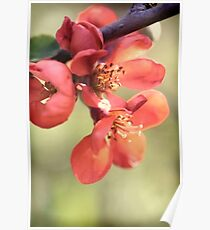 Chaenomeles japonica Poster