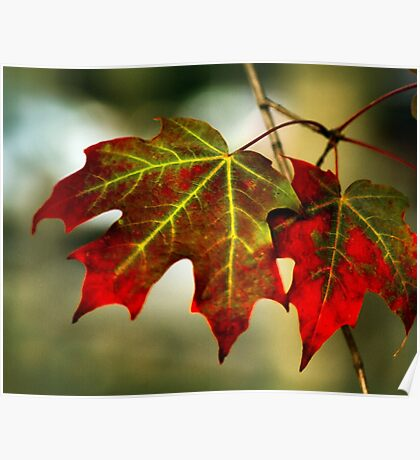 Feeling of Autumn - Maple leaves  Poster