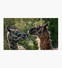 Sweet Llamas Photographic Print