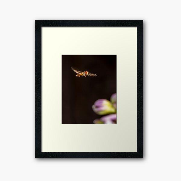 A hover fly  Framed Art Print