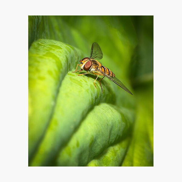A hover fly  Photographic Print