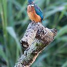 Kingfisher looking for breakfast by DaleReynolds