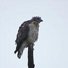 Hawk by virginian