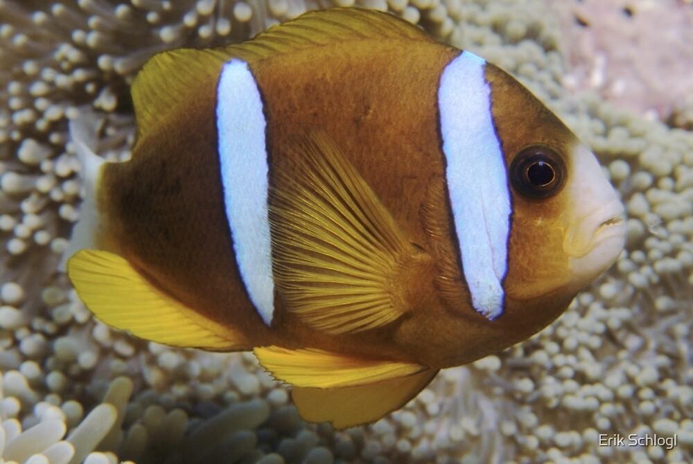 Barrier Reef Anemonefish by Erik Schlogl