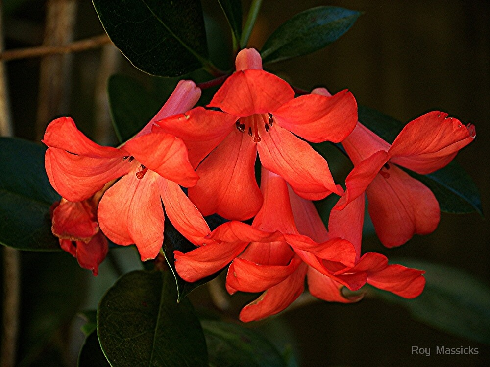 Flame coloured Vireya in my garden........! by Roy  Massicks