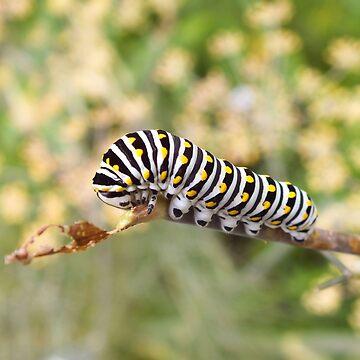 Black Swallowtail Caterpillar  by hannahsview