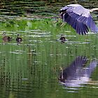 Great Blue Heron and Wood Ducks by Lisa Cook