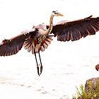 Heron in Flight by Lisa Cook