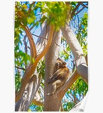 Love My Tree, Koala, Yanchep National Park Poster