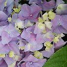 Hydrangeas in bloom; La Mirada, CA USA by leih2008