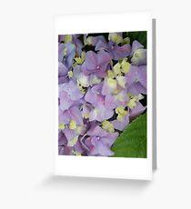 Hydrangeas in bloom; La Mirada, CA USA Greeting Card