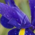 Rain drenched Iris, La Mirada Villages, La Mirada, CA USA by leih2008