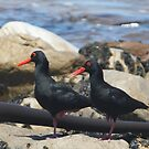 African black oyster catchers by richeriley