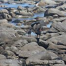 African black oystercatcher with young by richeriley