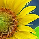 An eccentric sunflower! by Anthony Goldman