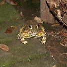Garden toad by richeriley