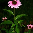 three coneflowers by little1sandra