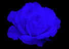 Midnight Rose by AnnDixon