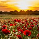 Poppies in sunset by george papapostolou
