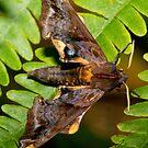 Blinded Sphinx moth by DigitallyStill